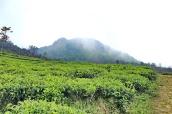 Puncak Ungaran dr kebun teh